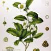 Figure 1: Illustration of the Tea Plant