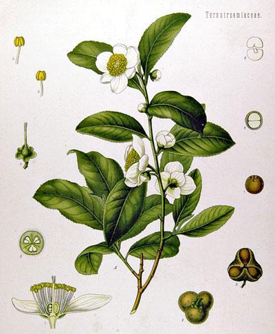 image of tea plant