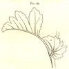 Figure 5. A small, membranous leaf structure that grows at the juncture of leaf-stalk and stem, and causes the eye to not fixate on that juncture. Fig. 99 in _The Art of Decorative Design_. Courtesyof the Department of Special Collections, Stanford University Libraries.