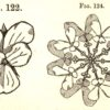 """Figure 7. Dresser, illustrations of a violet, a flower that we encounter as a """"vertical ornament"""" with bi-lateral symmetry (left) and a flower we encounter as a """"horizontal ornament"""" with radial symmetry (right). From _The Art of Decorative Design_. Courtesyof the Department of Special Collections, Stanford University Libraries."""